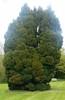 Evergreen (RoboSchro) Tags: tree evergreen clarepriory
