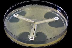 Modified Hodge Test / Cloverleaf Test (Nathan Reading) Tags: test india hospital science modified bacteria healthcare microbiology superbug hodge agar cloverleaf superbugs ndm1 multiresistant carbapenemase blandm1