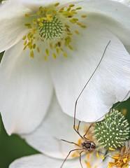 Long legged 1.jpg (ironman5) Tags: elements gardenflower longleggedspider canoneos60d