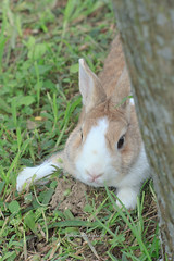 20160605-IMG_8373.jpg (ina070) Tags: animals canon6d grass pet rabbit
