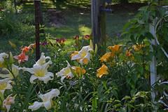 Fair Ladies (BKHagar *Kim*) Tags: flowers plants flower nature yard garden al lily blossom alabama moms lilies bloom tanner bkhagar