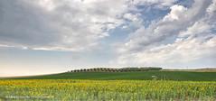 i colori della campagna (albygent Alberto Gentile) Tags: campagna countryside girasole sunflowers nuvole clouds ulivi puglia olympus landscape paesaggio sky cielo campo