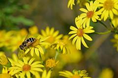 Et (BrigitteChanson) Tags: t fleurs flowers jaune insecte fiori flores mostbeautifulpicturembpictures