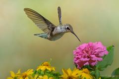 Ruby-throated Hummingbird (2016-07-20 7243) (bechtelsf) Tags: nikon nikon80400mm hummingbird bird animals wildlife outdoor flower wing inflight flying ohio rubythroated