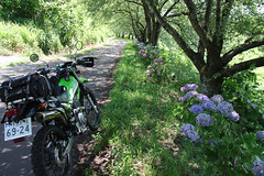 Hydrangea (Will Design Works) Tags: japan mortorcycle touring