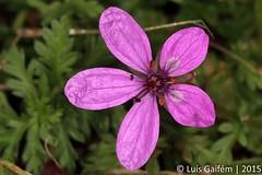Erodium sp. (Lus Gaifm) Tags: erodiumsp geraniaceae lusgaifm macro natureza nature planta plantae flor flower senhoradapeneda pnpg pnpenedagers