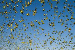 IMG_0356.jpg (Paul Williams www.IronAmmonitePhotography.com) Tags: bird budgerigar summer murmuration dryseason melopsittacusundulatus australia