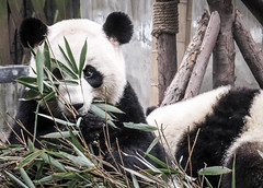 Always food time (danielkimaniz) Tags: research base giant panda breeding chengdu sichuan china