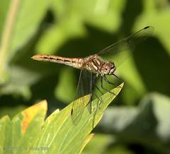 Dragonfly (jimgspokane) Tags: dragonflies insects mothernature manitopark duncangarden rosehill s spokanewashingtonstate naturewatcher
