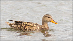 Gadwall (Female) (John R Chandler) Tags: uk bird animal duck unitedkingdom places coventry westmidlands warwickshire wildfowl gadwall brandonmarsh warwickshirewildlifetrust