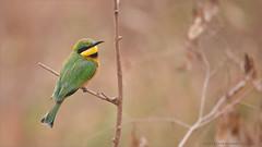 Little Bee-eater in Tanzania (Raymond J Barlow) Tags: africa wildlife phototours raymondbarlow bird beeeater green tanzania
