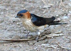 A swallow - seen in the Himalayan Hills (PsJeremy) Tags: nepal birds swallow himalayan birdportrait