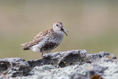 Dunlin / lurll (Jonas Ottos) Tags: dunlin birds wildlife animals westfjords iceland summer spring bokeh