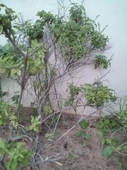 thulasi (krihsnasri) Tags: ocimumtenuiflorum tulasi tulsi holybasil plantae asterids lamiales lamiaceae otenuiflorum ocimum