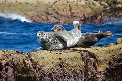 IMG_4481_edited-1 (Lofty1965) Tags: islesofscilly ios seal
