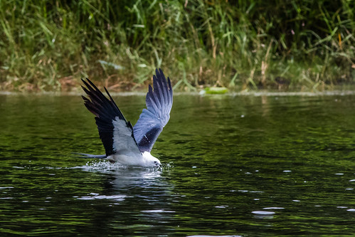 Slurp! - Swallow-tailed Kite