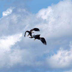 Fish Fight (DewCon) Tags: eagle americanbaldeagle lakepepin