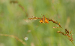 Small skipper (yvonnepay615) Tags: nature butterfly insect lumix panasonic smallskipper coth gh4 coth5