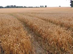 Weizenfeld - wheat field (Sophia-Fatima) Tags: groszecher amschaalsee schleswigholstein deutschland weizenfeld wheatfield