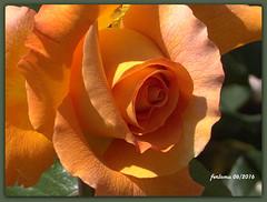 Toro (Zamora) 13 rosa color salmn.CR2 (ferlomu) Tags: flor rosa toro zamora ferlomu