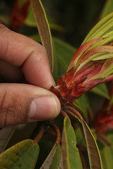 Rhododendron arboreum (6) (siddarth.machado) Tags: rhododendron northsikkim himalayanflora 3000msl