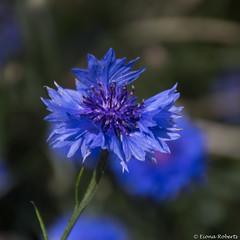 Cornflowers (Eiona R.) Tags: wfc nationalbotanicgardensofwales cornflowers