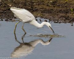 Little Egret (cconnor124) Tags: egrets largebirds waterbirds white birdphotography uknature nature naturephotography canon100400lens canoneos canon7dmk11