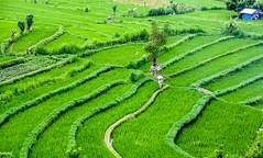 Rice fields (Bart Weerdenburg) Tags: bali indonesia asia tirtagangga rice ricefields rijstveld green groen nature fullyfilled vert