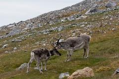 Reindeer (rwoan) Tags: svalbard svalbardandjanmayen sj