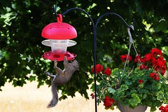 An Intruder!!!! Trespassing is ON..... (RASH Photography....) Tags: intruder squirrel bird feeder plants tree flower outdoor garden animal