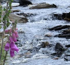 2816 fx2 Babbling water (Andy panomaniacanonymous) Tags: 20160721 babblingwater bbb fff flower foxglove nantffrancon sss stream water www
