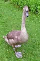 """der """"Graue"""" eins der 4 Kinder vom """"Schatz"""" (mama knipst!) Tags: schwan swan wasservogel bird rheinauebonn"""