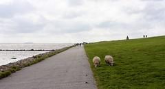 Sheep IV (tillwe) Tags: northsea sheep dagebll dike tillwe 201608