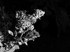 A touch of light in the dark (Nicolas) Tags: flower fleur nicolasthomas ecquevilly yvelines france nature flowersinblackwhite macromondays nb bw noiretblanc blackandwhite flash strobe light lumire shadow ombre monochrome