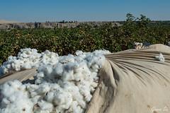 DSC_0260-1 (Gianna Siu) Tags: humay algodn cotton