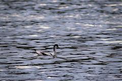 Klyde (Mikkelmusiker) Tags: recurvirostra avosetta klyde bird denmark bornholm shorebird black blue white pied avocet canon eos 7d mark ii ef400mm f56l usm hundsemyre