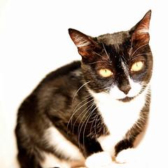 Gata Gitana (3) (adopcionesfelinasvalencia) Tags: gata gitana