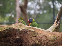 What are you looking at? (LightCaptur) Tags: nature birds bird tree zoo healesville leaves colour rainbow lorikeets outdoors