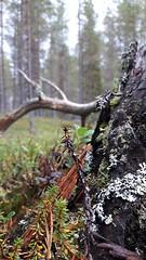 Lapland Forest Woods trekking (ani4x4) Tags: laponia lapland sweden trekking hiking camp bushcraft travel adventure ani4x4 polar circle artic