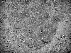 P9141466 (Jeannot Kuenzel) Tags: jeannotkuenzel jeannot kuenzel wwwjk4unet jk4u malta scuba under water underwater diving photography macro supermacro olympus epl5 zen port leica dg macroelmarit 45mm f28 asph ois inon z240 240z ucl165 s2000 moods aliensofthesea aliensofthedeepblue alien deep blue mediterranean sea maltaunderwater maltaunderwatermacro maltaunderwaterphotography bestmaltaunderwaterpictures maltamacro underwaterphotography maltascubadiving supermacrophotography underwatersupermacro underwateralien underwaterworld underwatercreature underwatermacro extrememacro superextrememacro