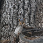 97/365/3019 (September 16, 2016) - Squirrels in Ann Arbor at the University of Michigan (September 15th & 16th, 2016) thumbnail