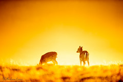 On the horizon (andrew evans.) Tags: morning light mist nature grass misty backlight forest sunrise golden nikon bokeh deer f28 d3 400mm
