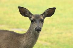 PG Doe (Kristen Fletcher Photography) Tags: nose eyes head wildlife ears doe deer pacificgrove