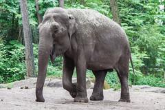 Burgers Zoo Arnhem 2015 : Asian elephant - Aziatische olifant (Hermen Goud Photography) Tags: animals zoo arnhem dieren asianelephant dierentuin elephasmaximus zoogdieren burgersdierenpark olifantaziatisch