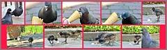 Chicken Assault (farmspeedracer) Tags: bird chicken ice nature spring fight pond pigeon cream swamp terror nesting moorhen
