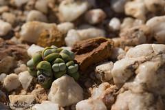 Argyroderma theartii (Etwin1) Tags: knersvlakte argyroderma mesembs africansucculents succulentsinhabitat argyrodermatheartii