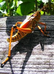 Florida, Everglades (plismo) Tags: insect florida outdoor everglades grasshopper