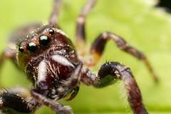 Oh Hai! (Doundounba) Tags: macro spider montral pentax qubec jumpingspider araigne arthropod k3 salticidae poormansmacro pentaxa50mmf17 salticide erismilitaris parcnaturedelledelavisitation erissp pentaxm150mmf35 coupledreverselens