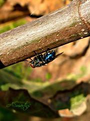 Macro (#moliço) Tags: cores mosca insecto varejeira