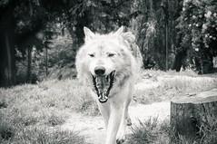 DSC00270 (ifernando2) Tags: wolf wildanimal lobo